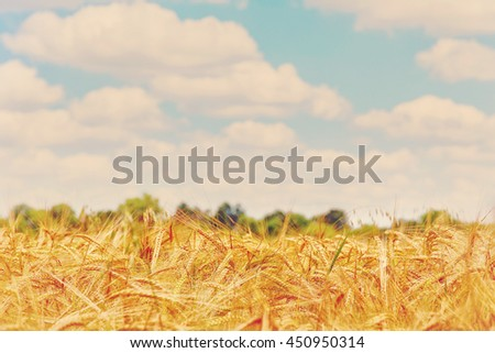 Wheat field on a blue sky background.. A fresh crop of rye.  Rich harvest Concept. Rural landscape under shining sunlight. Soft lighting effects. for the design. retro style - stock photo