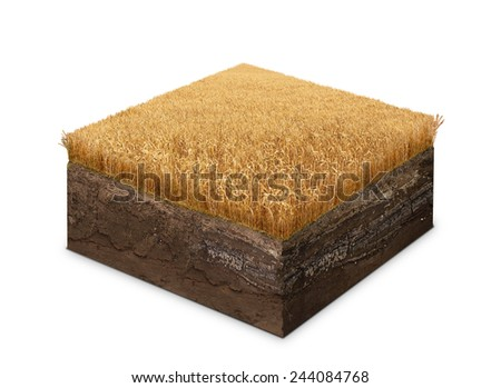 Wheat field on a cross section of ground isolated on white - stock photo