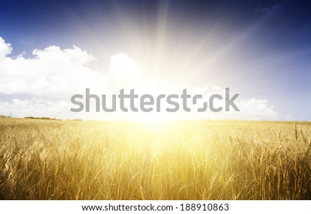 Wheat field on a Sunny day. Agriculture.