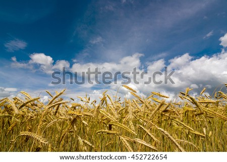 Wheat field on sky background. - stock photo