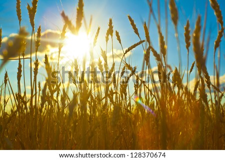 Wheat field on sunset against deep blue sky, close up ripening ears of wheat field on the background of the setting sun on blue sky with clouds Wheat field and blue sky with clouds - stock photo