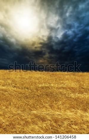 wheat field on sunset shallow DOF - stock photo