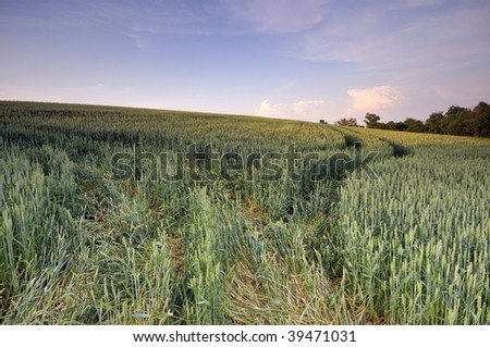 Wheat field on the hill