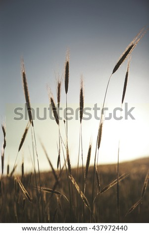 wheat field on the sunset background