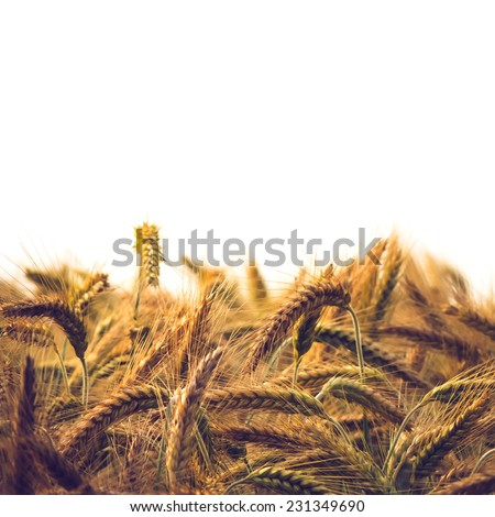 Wheat field on white background - stock photo