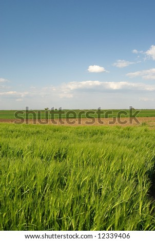 Wheat field over blue sky and clouds in spring - stock photo