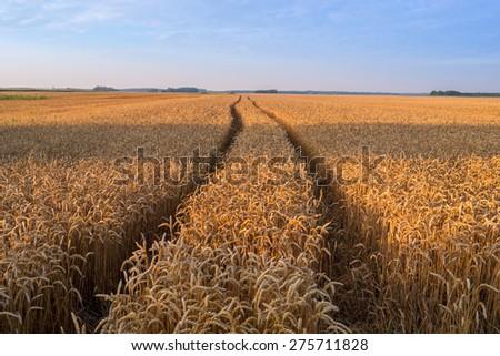 Wheat field  ready for harvest growing in a farm field - stock photo