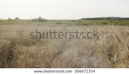 wheat field ready for harvest, shallow focus - stock photo