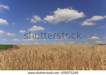 Wheat field. Ripe golden wheat ears before harvesting