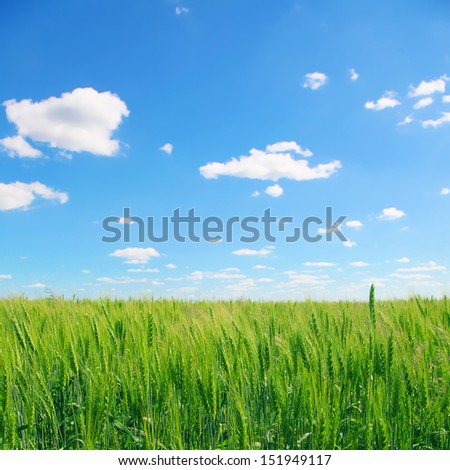 Wheat field under blue sky with clouds.