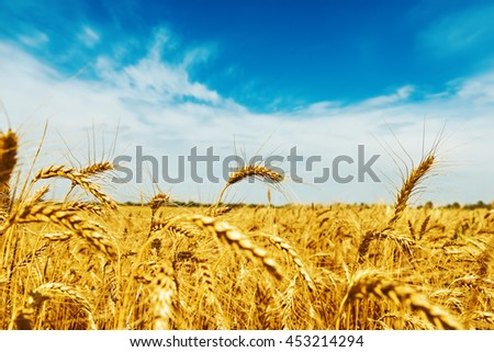 wheat field under blue sky with clouds. golden harvest. soft focus - stock photo