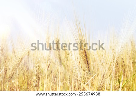 Wheat field under clear blue sky and sunshine.  - stock photo