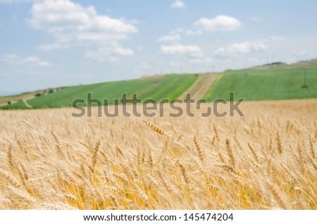 Wheat field with a green landscape background and a blue sky - stock photo