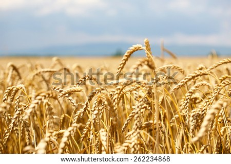 wheat field with blue sky and clouds and mountain in background - stock photo