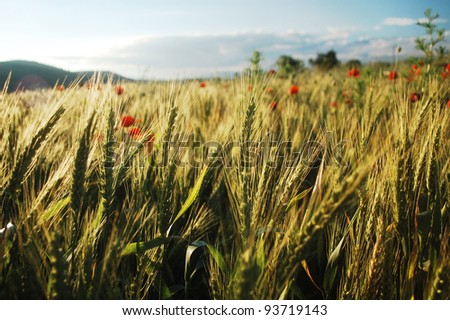 wheat field with red poppies in Romania, eastern Europe.