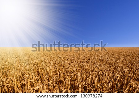 wheat field with sunbeams
