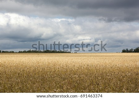 Wheat field with thunderclouds and sun