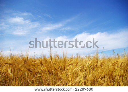 wheat fields - stock photo