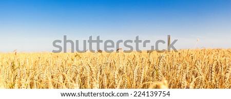 wheat fields - stock photo