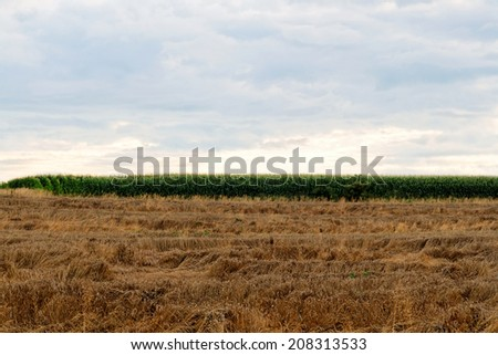 Wheat fields and corn n the summer