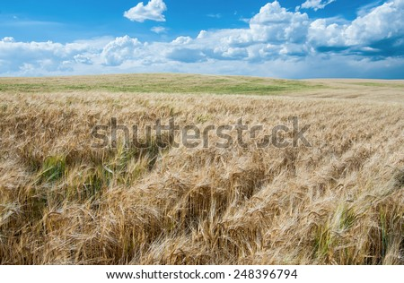 Wheat Fields in August: Fields of ripe wheat move in a summer wind as storm clouds pass over a farm in southeast Idaho.  - stock photo
