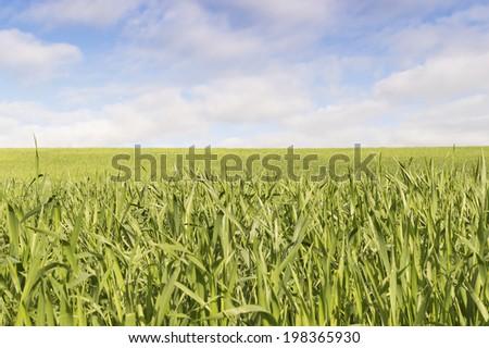 wheat fields under blue sky in Castilla y Leon north of Spain - stock photo