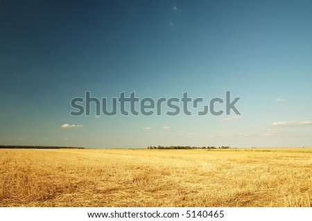Wheat filed in the summer
