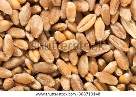 Wheat grain as background