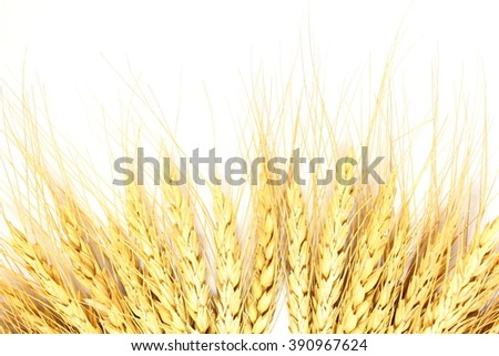 wheat grain ears in white background - stock photo