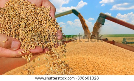 Wheat grain in a hand after good harvest of successful farmer - stock photo