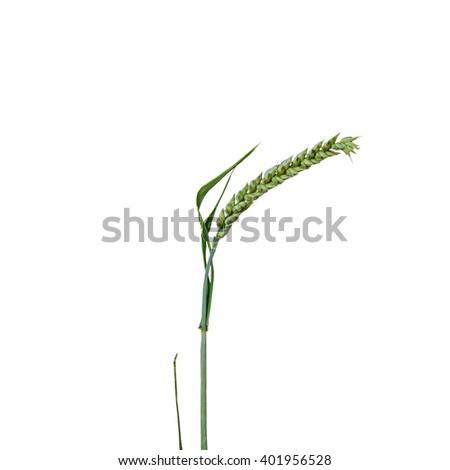 wheat grain isolated - stock photo
