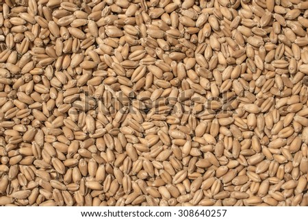 Wheat grains as agricultural background for harvesting season