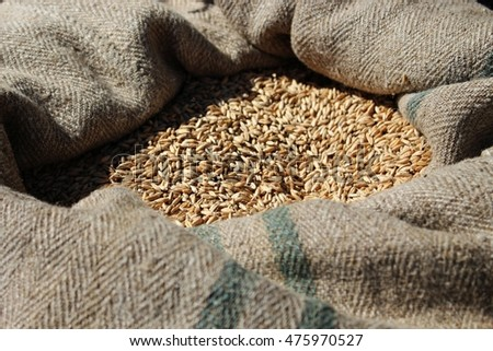 Wheat grains in sack, healthy ingredients for rolls and bread with whole grains.