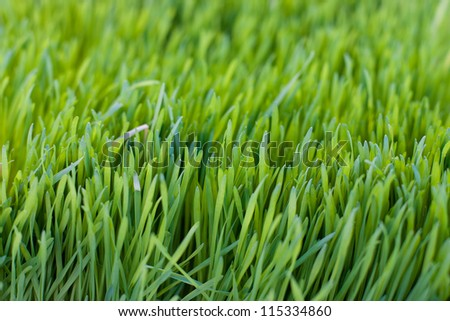Wheat Grass - stock photo