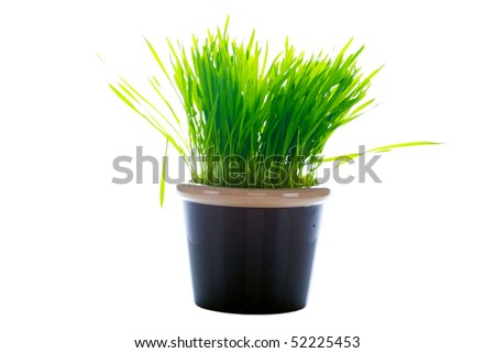 wheat grass in a pot isolated on white
