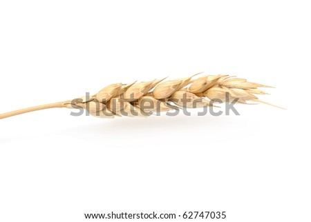 wheat grass isolated on white background - stock photo