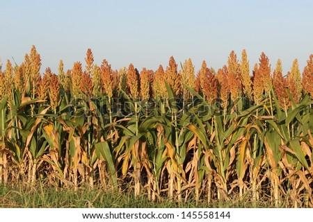 wheat growing in a field - stock photo