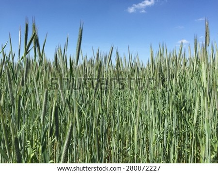 Wheat growing on a summer field in Germany.
