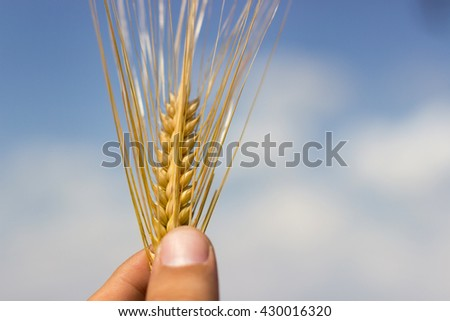 Wheat Harvest, Close up on hand holding wheat, Shallow depth of field - stock photo