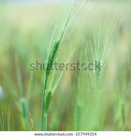 Wheat in barley field. - stock photo