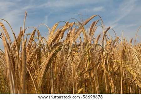 wheat in evening light - stock photo