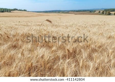 Wheat in Field - stock photo