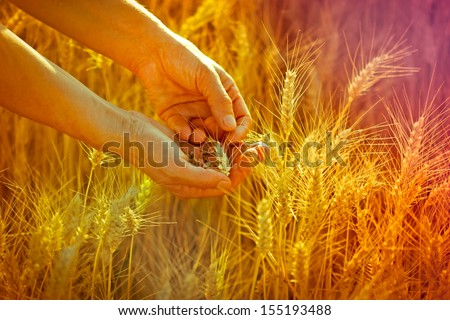 Wheat in hands - stock photo