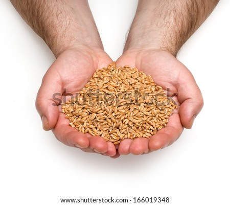 wheat in man's hand isolated on white. with clipping path - stock photo
