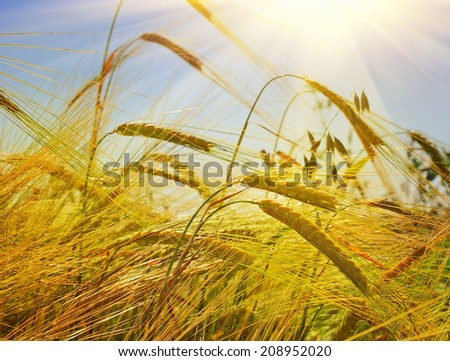 Wheat in the field - stock photo
