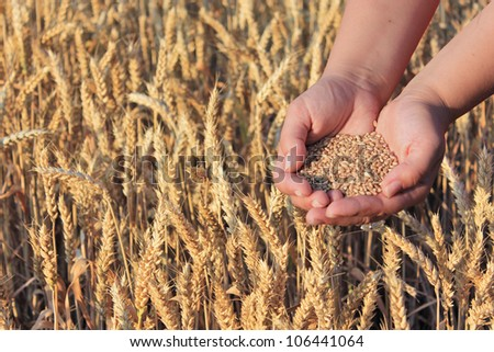 Wheat in the hand - stock photo
