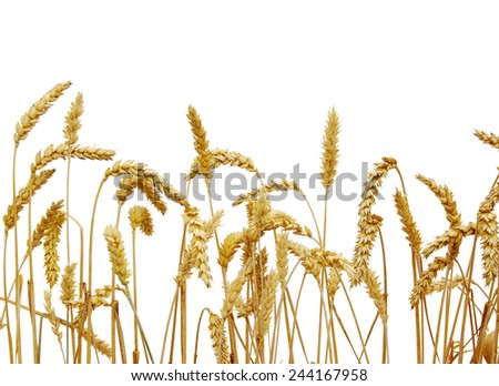 wheat isolated on a white background  - stock photo