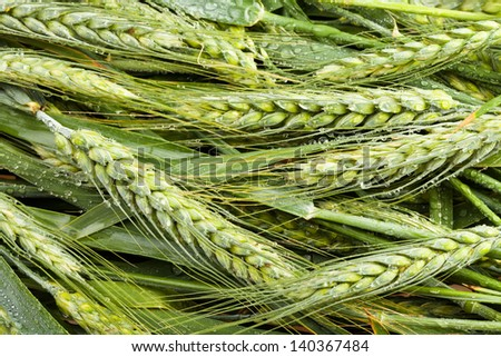wheat many spikes green closeup - stock photo