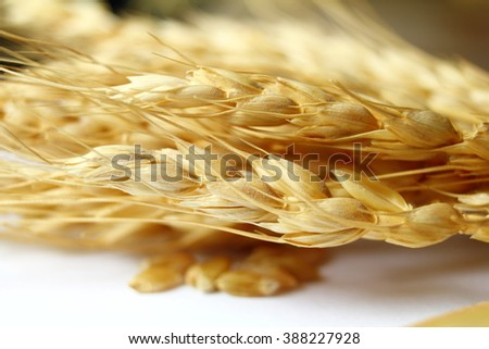 wheat oats barley or rye grain ears closeup - stock photo