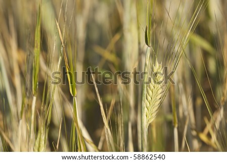 Wheat on a field. Macro photo. - stock photo